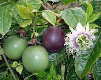 1 Purple Possum Passiflora edulis Passion Fruit Plant