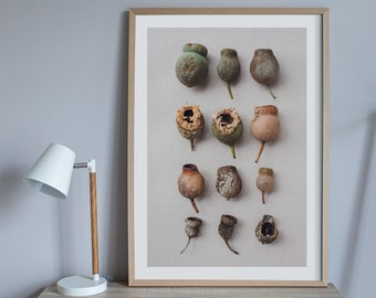 Honky nuts print — A collection of an eucalyptus tree's seedpods
