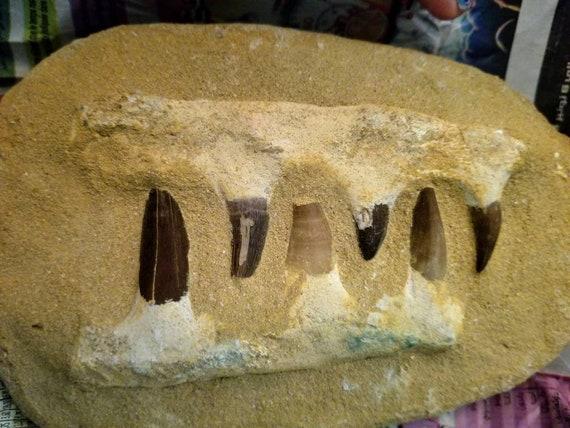 Mosasaur Teeth