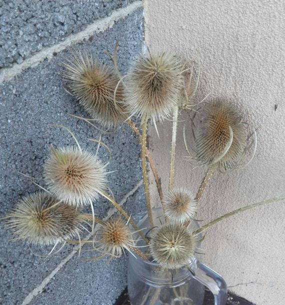 Large  listing for K Lot 100 DRIED TEASEL THISTLE HEADS Floral Crafts Display