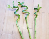 Curly Spiral Lucky Bamboo - 3 stems, approx 40cm tall. Get three cut stems. Feng shui house plant.