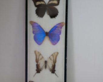 15da3a7d542 Cadre de 4 grands papillons dont 1 morpho bleu