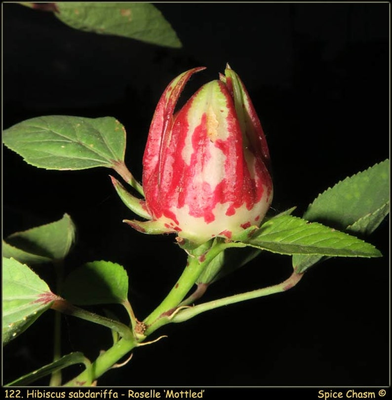 Roselle Calyx Hibiscus Sabdariffa Some Amazing New Etsy