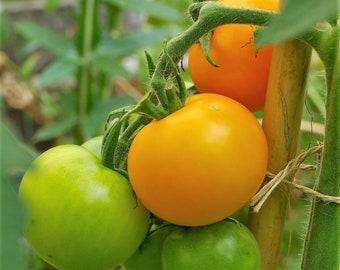 Tomato Blond-headed (10 Grain)