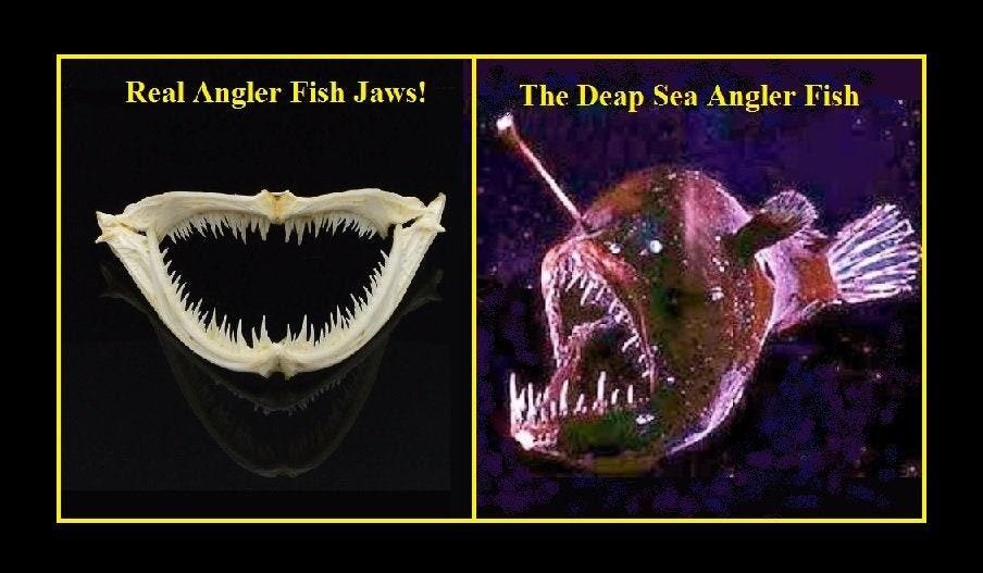 Very Rare, Real Deep Sea Angler Fish Jaws and Teeth!