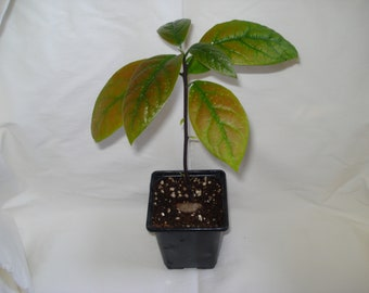 2 x Afzelia quanzensis tree seedling rare exotic future bonsai African