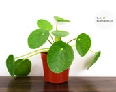 Pilea Peperomioide Live house plant 4 inch pot