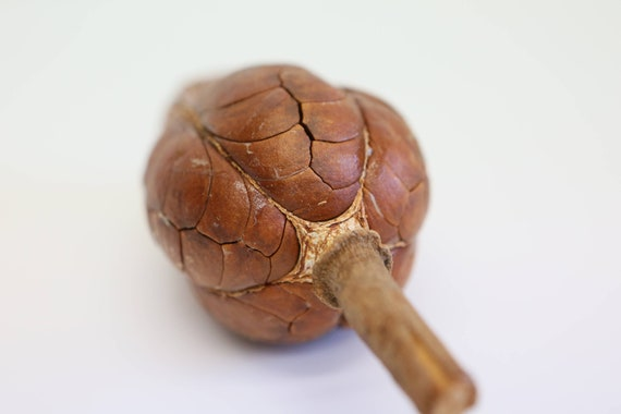 Cacao Pods Brown Natural Dried Pod Coco 12-18cm  100/% NATURAL-UK SELLER