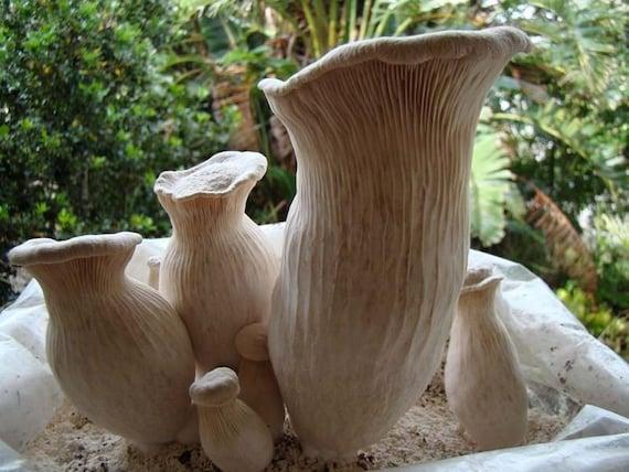 20 g Pleurotus nebrodensis WHITE FERULA Mushroom Spawn Spores Seeds Mycelium