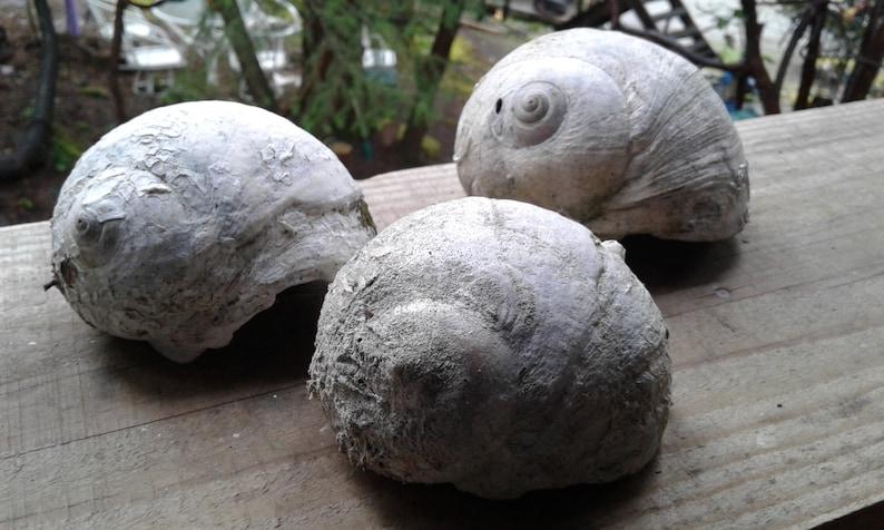 Moon Shell Large