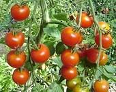 Uncle Gustav-historical tomato