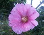 Stockrose purple-pink