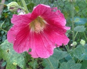 Stockrose pink