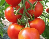 Queen of Early-Historic Tomato