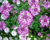 Bow flower purple-white (Iberis umbellata)
