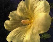 Stockrose yellow