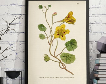 "Vintage Botanical Flower Print:  ""Tropæolum Minus or Small Tropæolus, or Indian-cress,"" published in 1790 in the ""Botanical Magazine"""