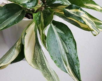 il_340x270.1828080869_tvst Indoor House Plant Philodendron on indoor ivy house plants, indoor house plant cactus, indoor house plant diseases, indoor climbing plants, indoor house plant palm, indoor house plant fern,