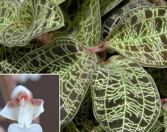 Jewel Orchid Etsy