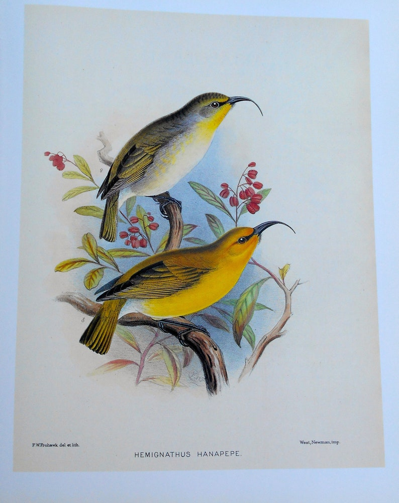 Frederick Frohawk Rare Bookplate of Hawaiian Nukupuu  from Birds of Hawaii 13x10  Offset Lithograph