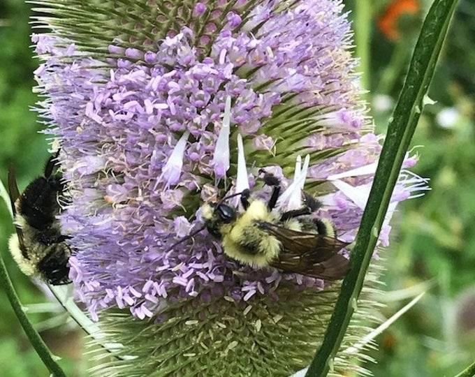 Teasel seed, Dipsacus Sylvestris seed