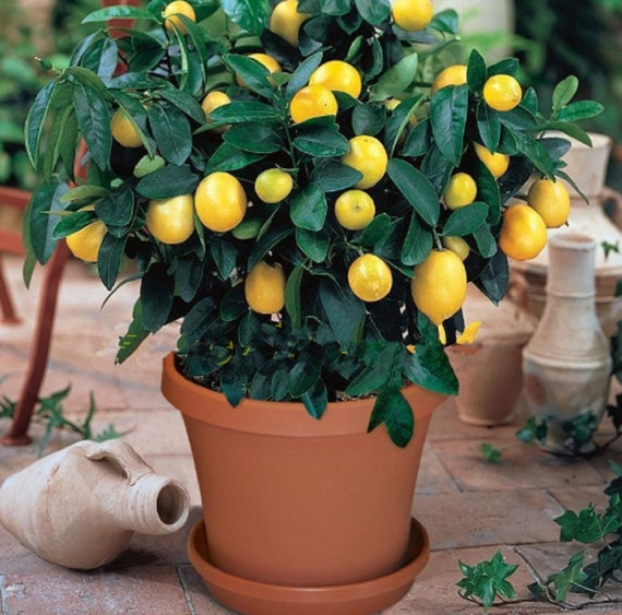 10 Seeds Bonsai Lemon Tree Bonsai High Survival Rate Of Fruit Etsy