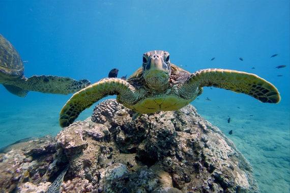 Sea Turtle Underwater Photograph Maui Hawaii Ocean Etsy
