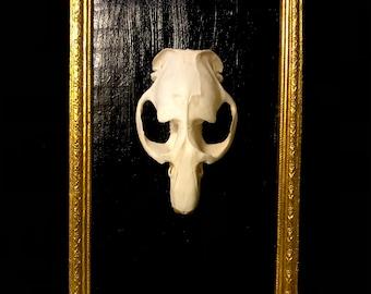 Muskrat skull in vintage frame
