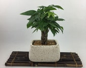 Live Money Tree indoor plant, white stucco Planter, unique gift bring money and fortune, Housewarming or Holiday unique Gift
