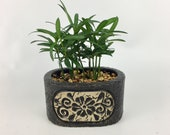 Cute little forest podacarpus in a black oval floral planter indoor plant easy care good feng shui good (chi) energy for office home uniqu