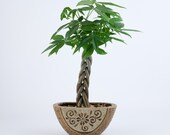 Money Tree indoor plant in a brown floral pottery, planter, unique gift bring money and fortunes, Housewarming, birthday. holiday gift