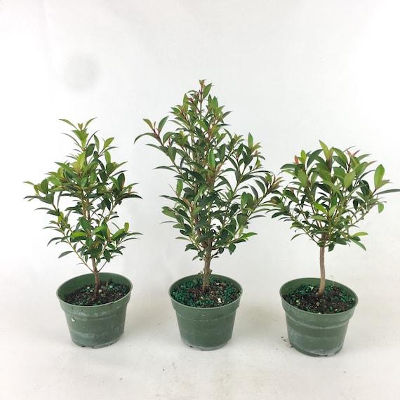 Bonsai Live Tree Global Brush Cherry In A 4 Grow Pot Etsy
