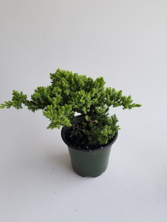 Juniper Live Bonsai Live Tree In 4 Grow Pot Informal Upright Style Outdoor Plant Housewarming And Unique Birthday Gift