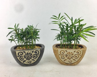 Cute little forest podacarpus in a oval floral planter indoor plant easy care good feng shui good (chi) energy for office & home uniqu