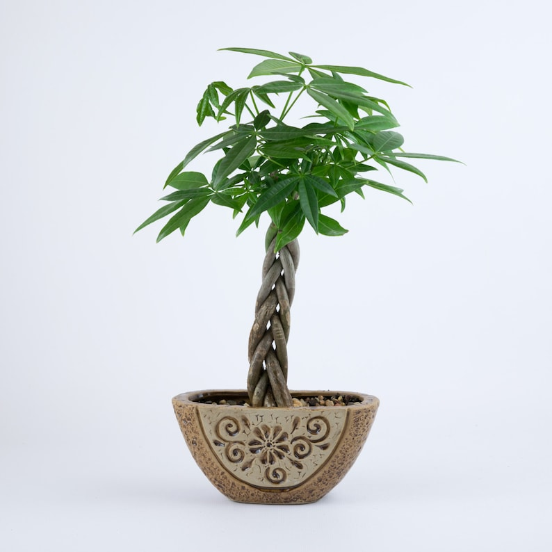 Money Tree indoor plant in a brown floral pottery, planter, unique on sage house plant, egg house plant, five leaves new york, five leaves vine, five leaves ground cover, five leaves poisonous plants,