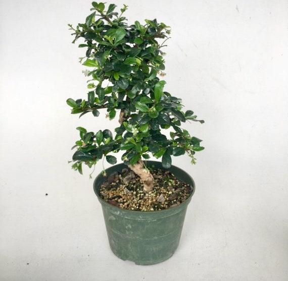 Bonsai Live Tree Fukien Tea In A 6grow Pot Indoor Etsy