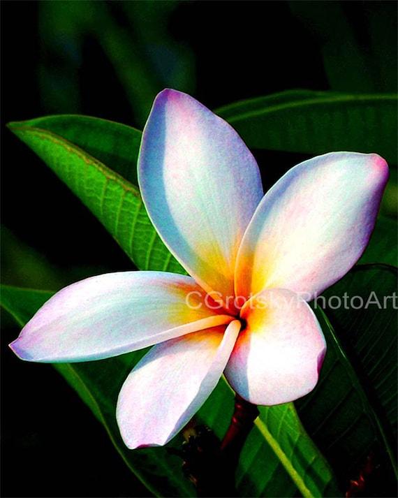 Wilcox Plumeria Flower Kauai Hawaii Hawaiian Hibiscus Etsy