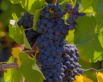 Tuscan Grapes on the vine