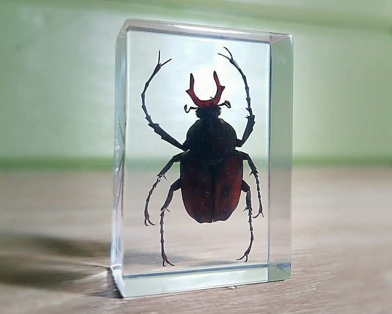 Real Insects Scarab Beetle In Crystal Clear Resin Information Specimen Art Gift