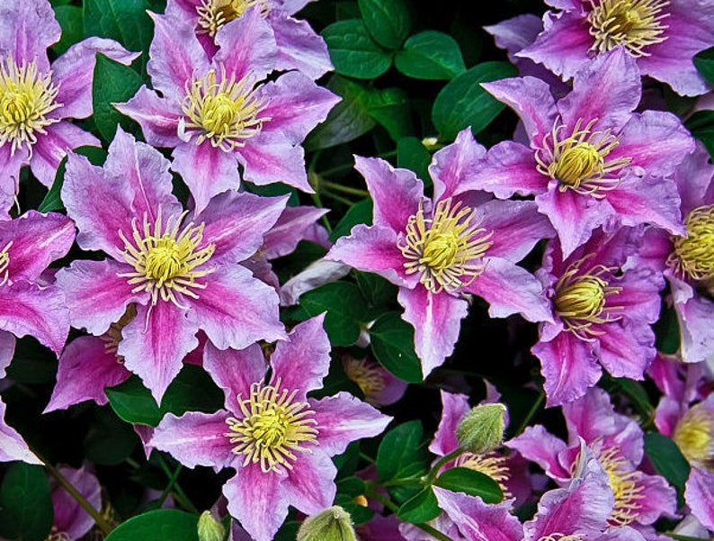 Image result for clematis flower