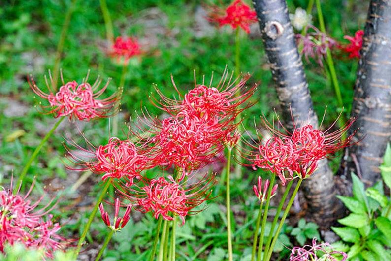 Home Garden Plant Lycoris Bulbs Bana Bulbs Red Lycoris Flowers Lycoris Radiata Bulb Spider Lily Bulbs Natural Growth Lycoris Plant