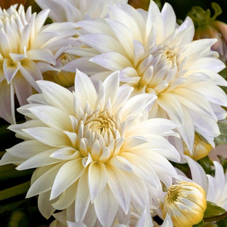 Dahlia Flower Bulbs White Dahlia Flowers Symbolizes Courage /& Lucky Dahlia Plant Not Dahlia Seeds Home Garden Plant Dahlia Bulbs