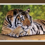 "Original Siberian Tiger Giclee Fine Art Print in pastel painting, ""Chillin"" wildlife, big cat, Realistic, detailed 8""x12"""