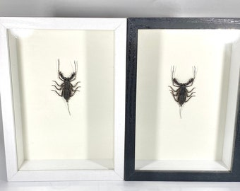 Indonesian Scorpion and Asian Cicada Shadowbox