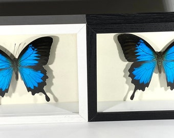 Real Framed Black White Shadow Box Indonesian Papilio Ulysses Blue Swallowtail butterfly insect taxidermyHome Decor