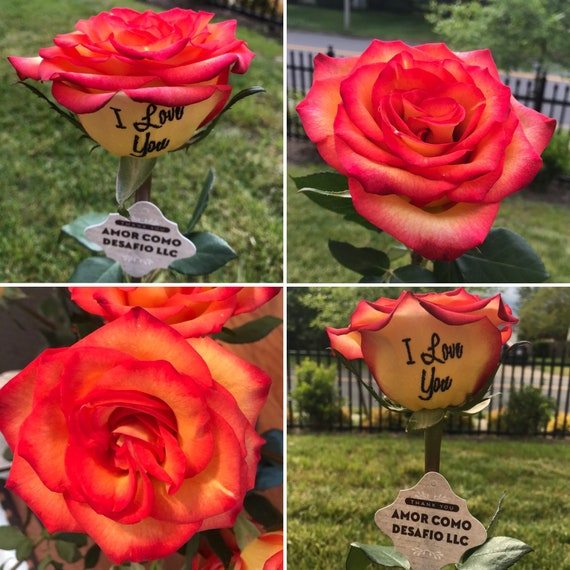 Single Personalized Fresh Live Rose