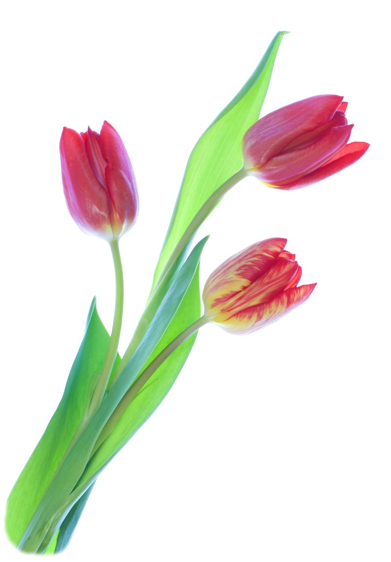 Sold exclusively by AM Fine Art GB Blank Inside Notelets \u2013 Thank you Cards Pack of 5 with Envelopes Red Tulips Flowerlets