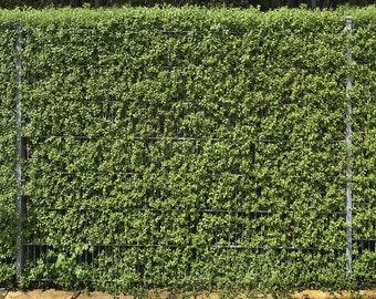 Common Wild Privet approx, 50 seeds - Shrub - Hedging - Ligustrum Vulgare