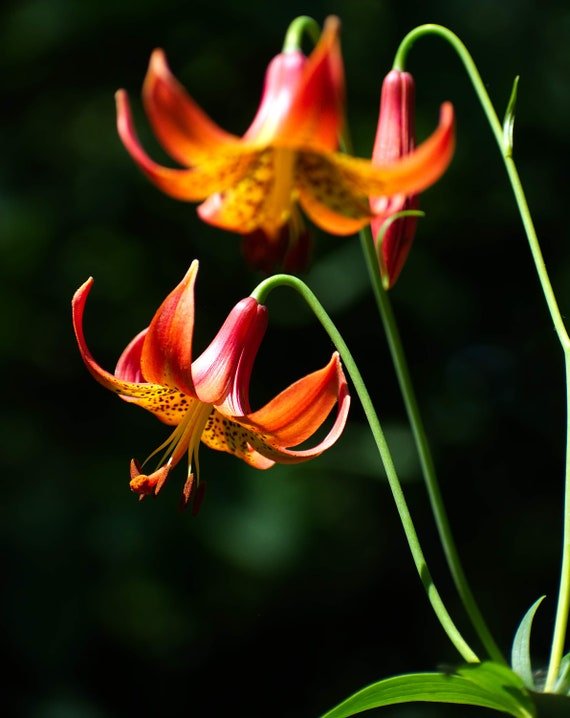 Colorful American Tiger Lily Flower New York Nature Etsy