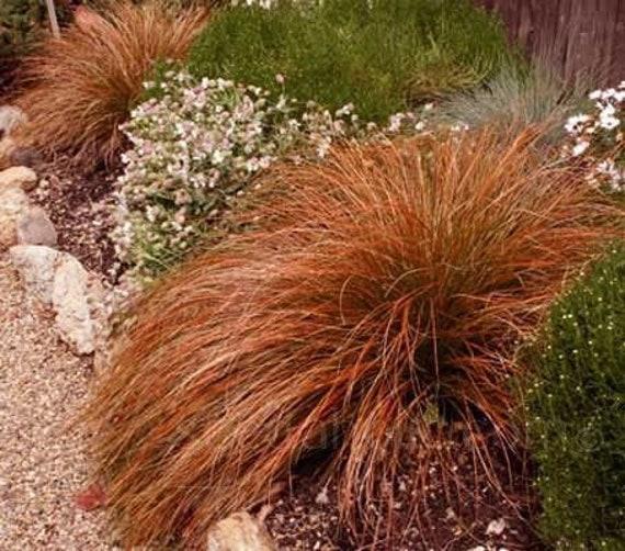 50 Seeds Carex Comans Bronze Form New Zealand Hair Sedge Carex Flagellifera Ornamental Decorative Garden Grass 50 Rare Seeds Pack